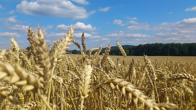 Wheat production will fall by 6% for every degree of temperature increase